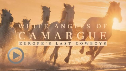 white-angels-of-camargue